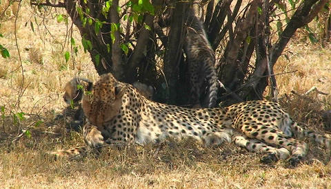 A cheetah licks its paw under a tree with cubs Stock Video Footage