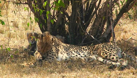 A cheetah licks its paw under a tree with cubs Footage