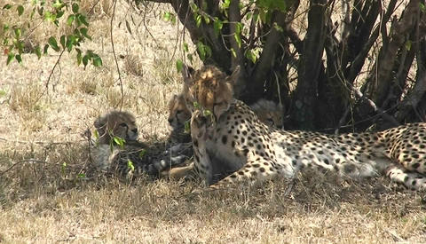 Cheetah mother sitting and playing with cubs Stock Video Footage