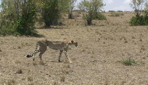 A cheetah walks across a grassy field Stock Video Footage