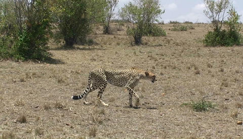A cheetah walks across a grassy field Stock Video Footage