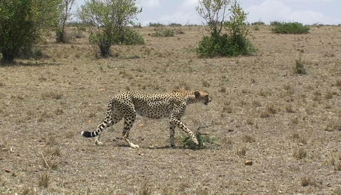 A cheetah walks across a grassy field Footage