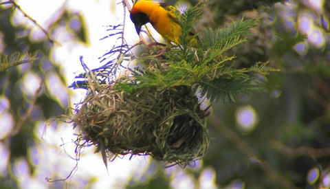 A bird perched atop of its nest makes a few minor... Stock Video Footage