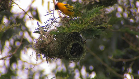 A bird perched atop of its nest makes a few minor adjustments Footage