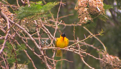 A yellow and black bird perches on a branch flapping his wings, then flies away Footage