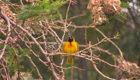 A yellow and black bird perches on a branch flapping his... Stock Video Footage