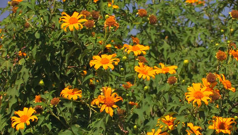 Plants covered with orange flowers sway in the breeze Stock Video Footage