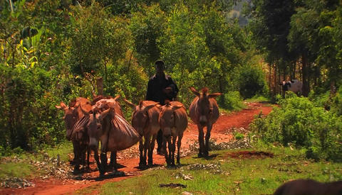 A man walks on a rural road with a few mules Stock Video Footage