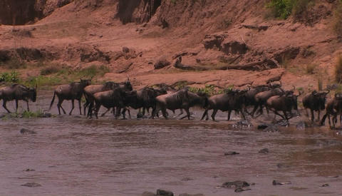 A heard of wildebeest cross a river and begin to run Footage