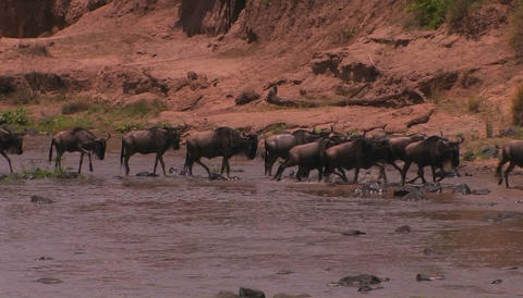 A heard of wildebeest cross a river and begin to run Stock Video Footage