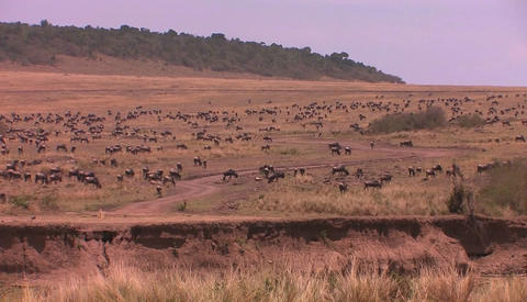 A large herd of wildebeest fill the plain Stock Video Footage
