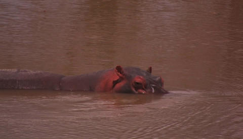 A hippopotamus cools itself in a river Stock Video Footage