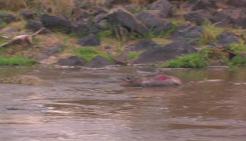 Hippos in a river in Africa Stock Video Footage