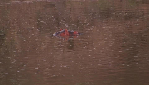 Hippos in a river in Africa Footage