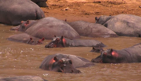 Hippos cooling off in the water Stock Video Footage