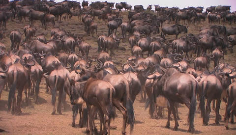A herd of wildebeest gather on an open plain Stock Video Footage