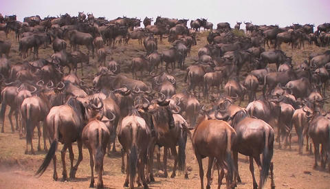 A herd of wildebeest gather on an open plain Footage