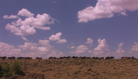 Wildebeest are gathered on an open plain Stock Video Footage