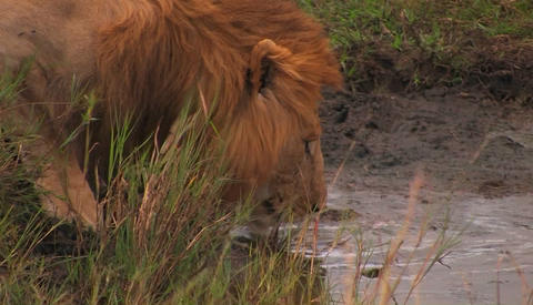 A male lion drinks water from a creek Stock Video Footage