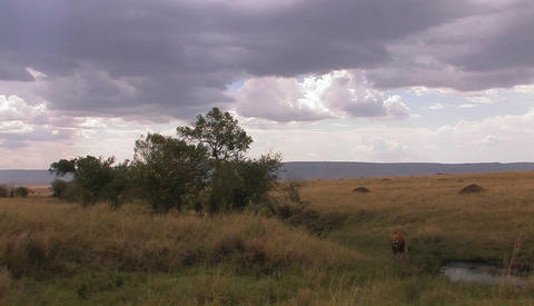 A lion sits alert in tall grass Stock Video Footage