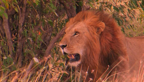 A lion pants on a windy day in a tall grassy field Stock Video Footage