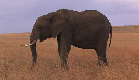 An elephant grazes in an open field Stock Video Footage