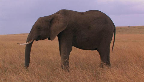 An elephant grazes in an open field Footage