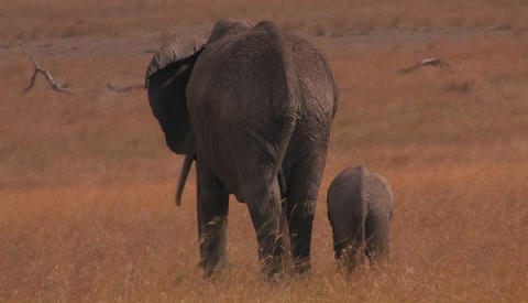A parent and baby elephant walk in a field Footage