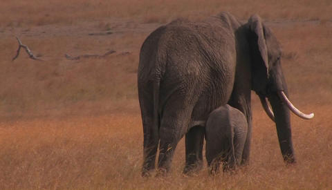 A parent and baby elephant walk in a field Stock Video Footage