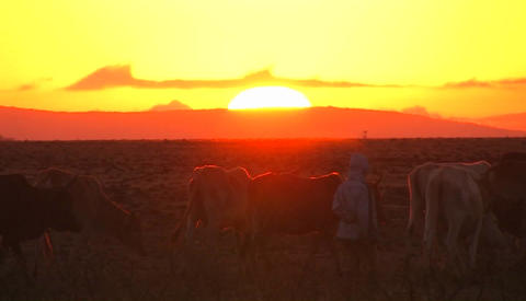 Men move a herd of cows along as the sun sets, and a car... Stock Video Footage
