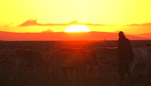 Men move a herd of cows along as the sun sets, and a car drives away Footage