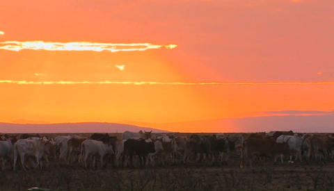 A herd of cattle move through a field near sunset Stock Video Footage