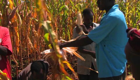 Workers in a cornfield pull the ears of corn off the stalks and place them in a basket Footage