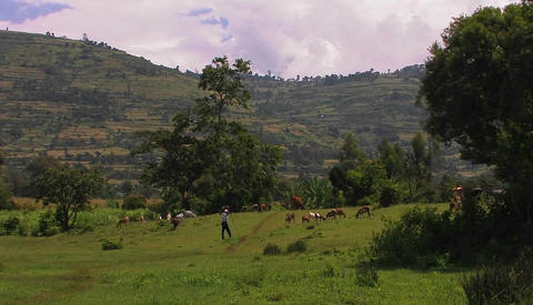 A man watches over a herd of goats grazing in a field Stock Video Footage
