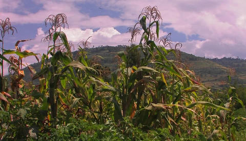 A strong gust of wind blows across a patch of corn in a field Footage