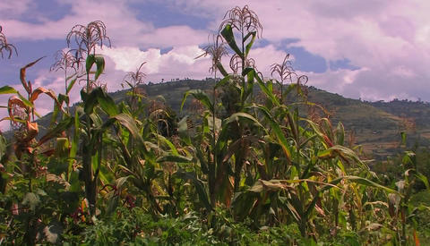 A strong gust of wind blows across a patch of corn in a... Stock Video Footage