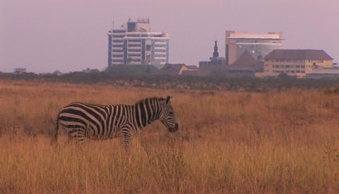 Zebras walk through a field outside of a city Footage