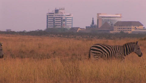 Zebras walk through a field outside of a city Stock Video Footage