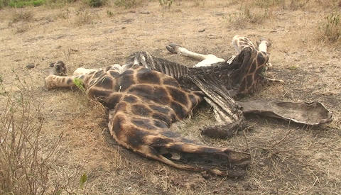 The carcass of an animal decomposes in the hot sun Footage
