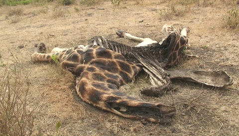 The carcass of an animal decomposes in the hot sun Stock Video Footage