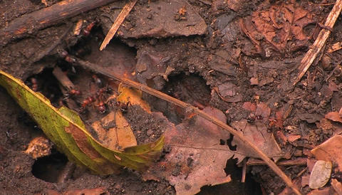 Teams of ants work in and around the colony entrance Stock Video Footage