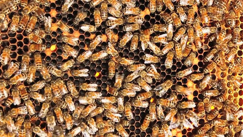 Honey bees crawl all over and work on their honey-comb Stock Video Footage