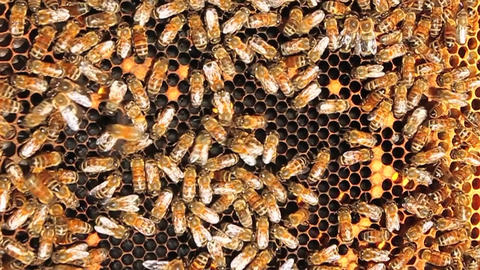 Honey bees crawl all over and work on their honey-comb Footage