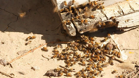 Bees swarm around the corner of a piece of wood Footage