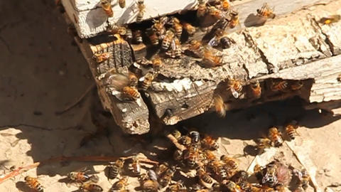 A bee hive with bees coming and going Footage