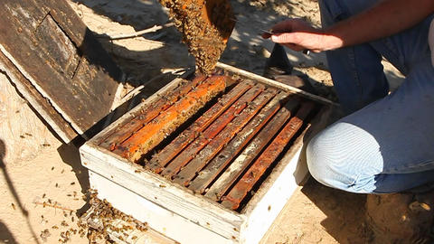 A bee keeper pulls out a frame of honey combs with bees on it Footage