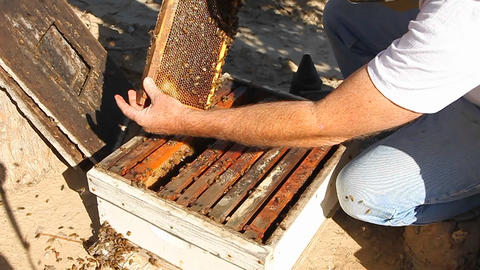 A bee keeper pulls out a frame of honey combs with bees... Stock Video Footage