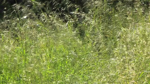 Tall grass blows n the wind Stock Video Footage