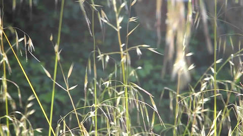 A slow motion close up of grasses blowing in the w Footage