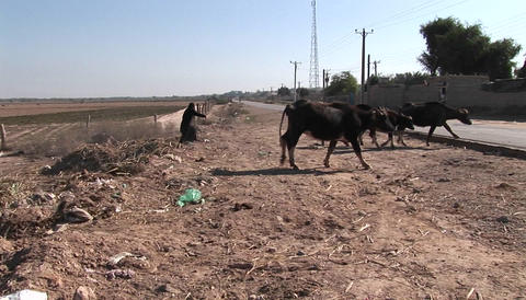 Oxen pass along a dirt path in Iran Stock Video Footage